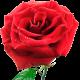 Букеты из роза спрей (кустовая)