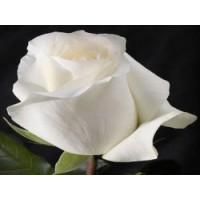 Роза (срез) 90-100см