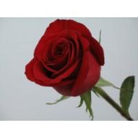 Роза Голландская красная