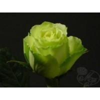 Роза Голландская белая 90-100см